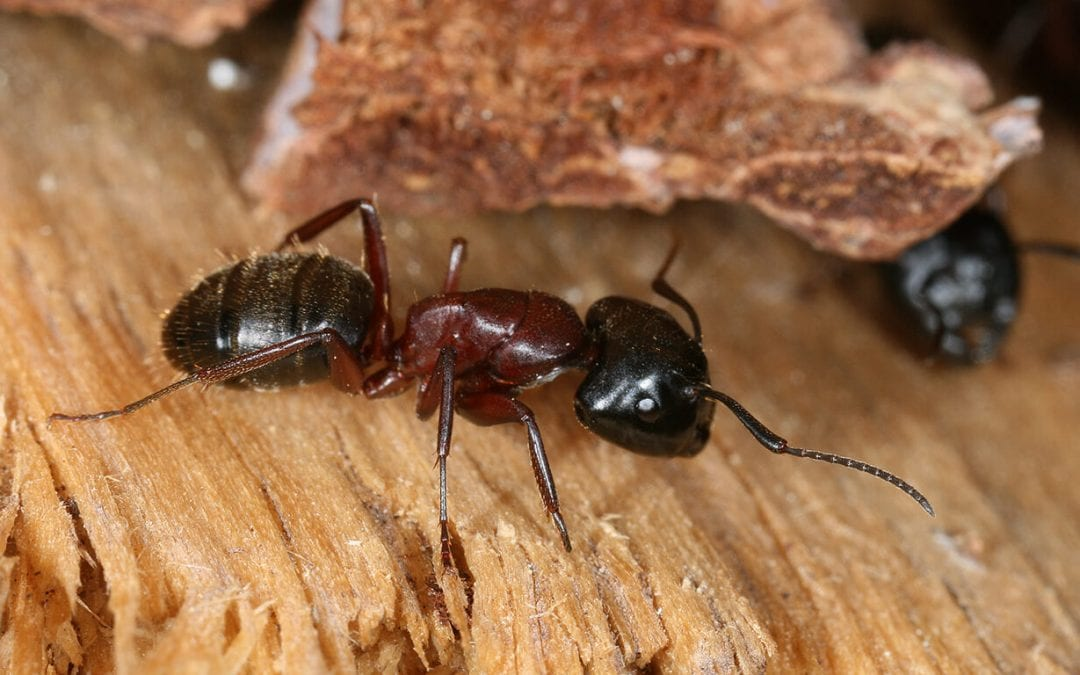wood-destroying insects include carpenter ants